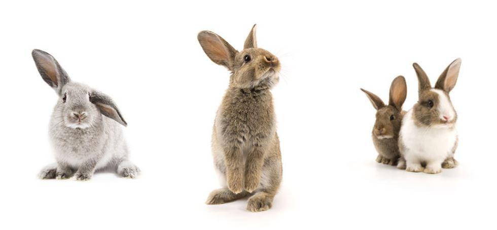 Un coniglio grigio con le, Due graziosi conigli seduti uno accanto all'altroorecchie cascanti, Un coniglio marrone sulle zampe posteriori,
