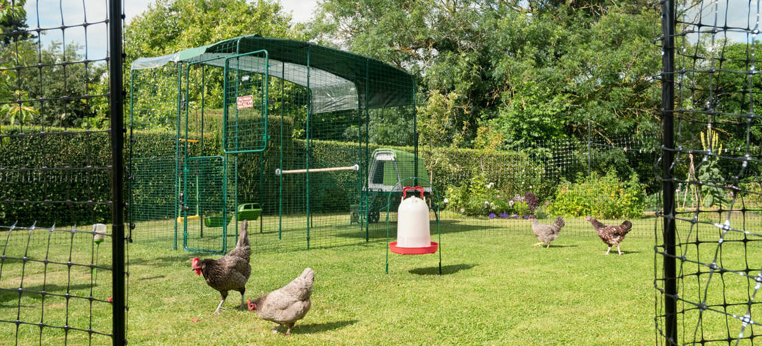 Quattro galline all'aperto nel loro recinto walk in