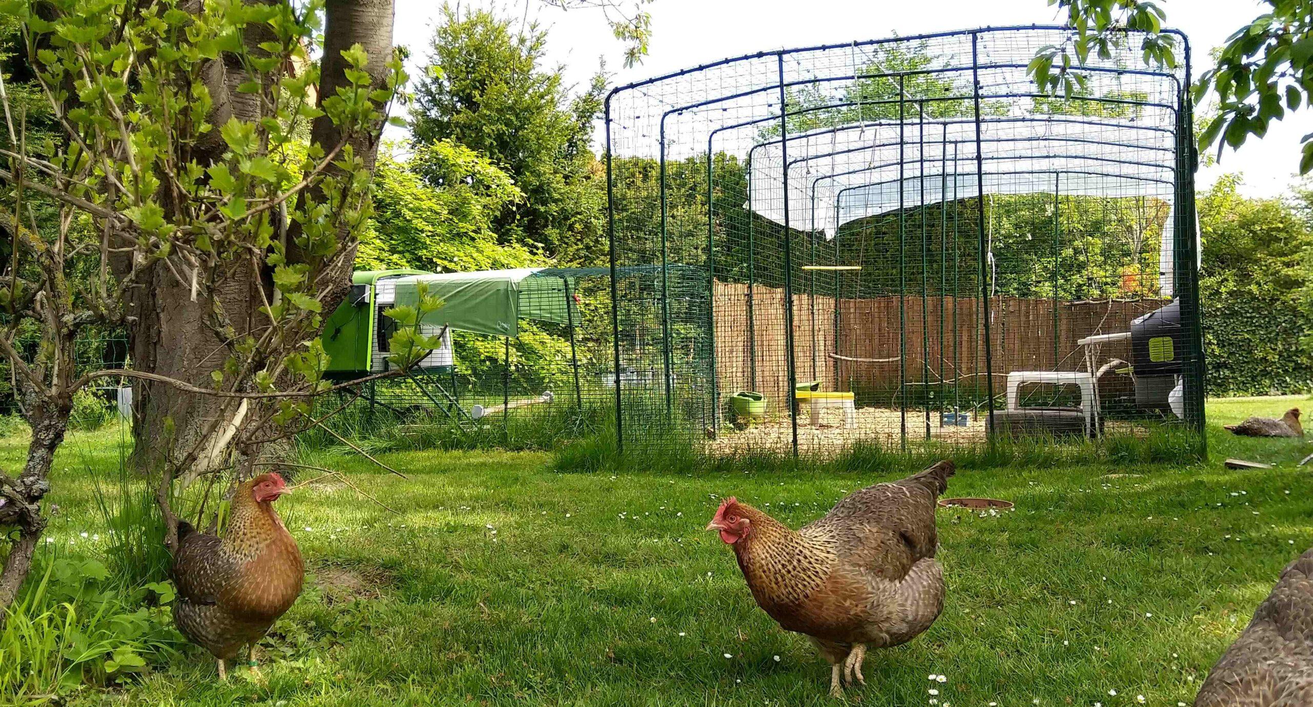 Due galline fuori nel recinto Walk In della Omlet