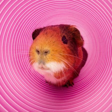 Un porcellino d'india guarda fuori da un tunnel gioco viola