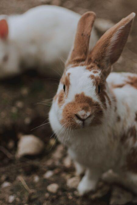 Coniglio bianco e marrone con le orecchie sollevate