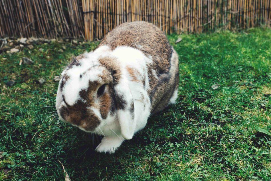 Coniglio con le orecchie cadenti che cammina su un prato