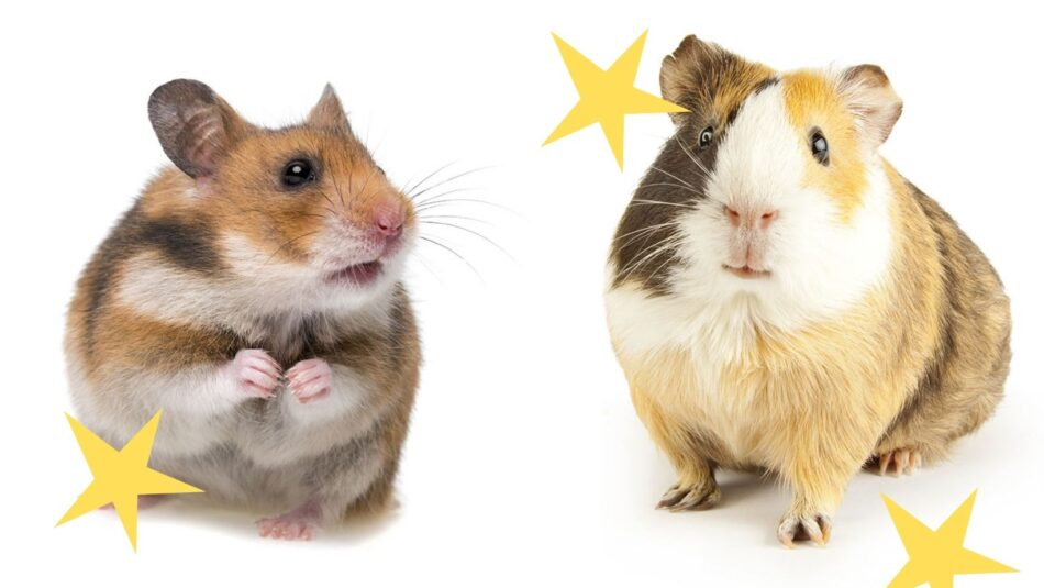 Differenze tra criceti e porcellini d'india