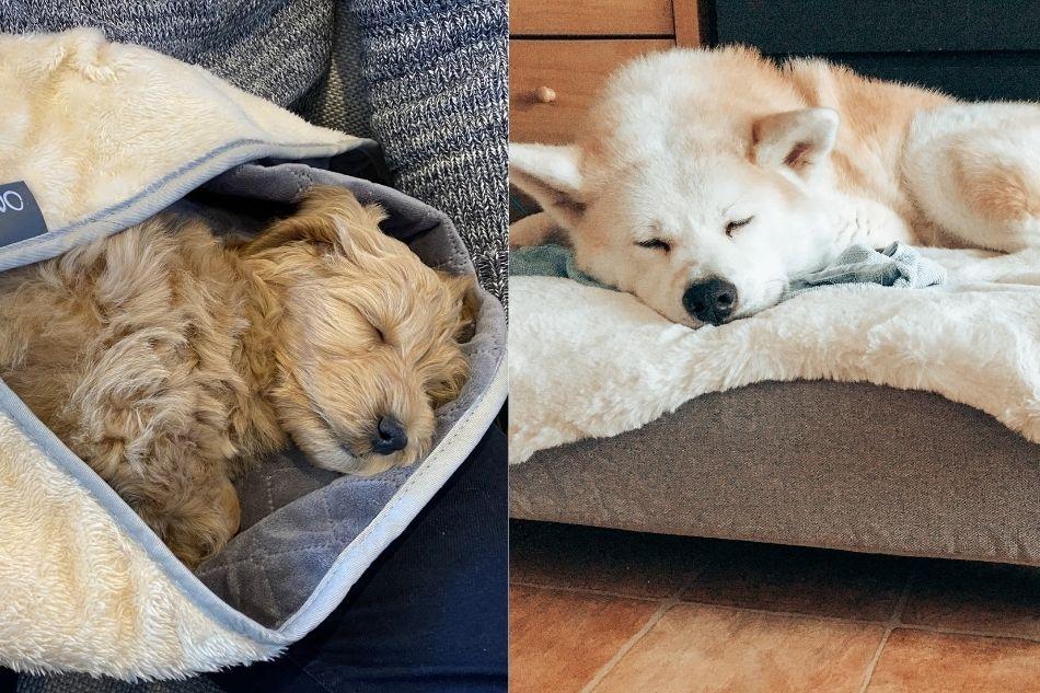 Due cani che dormono dopo una passeggiata autunnale