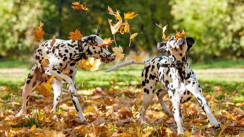 Due dalmata che giocano tra le foglie d'autunno
