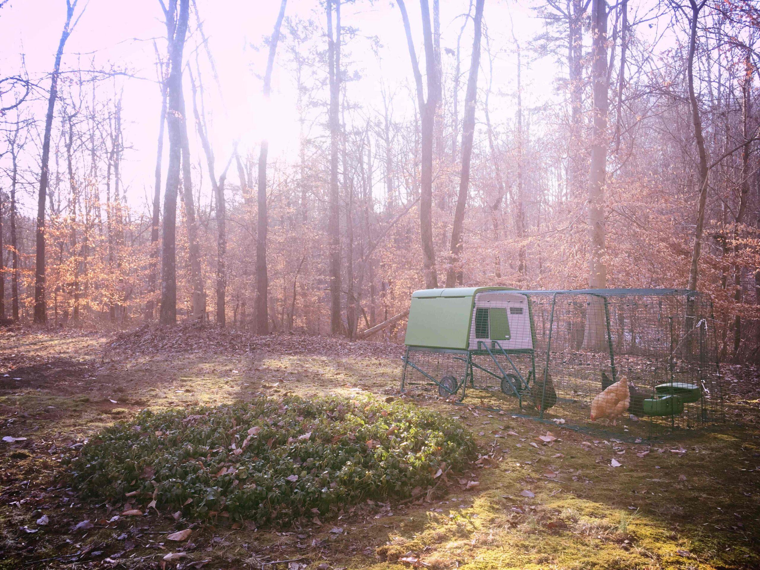 Galline in un bosco autunnale nel loro recinto Eglu