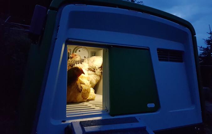 Galline nel pollaio Eglu della Omlet la sera