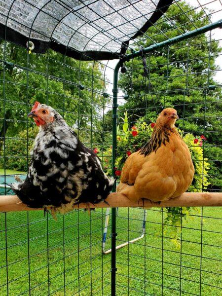 Indovina quale gallina fa le uova galline sul trespolo