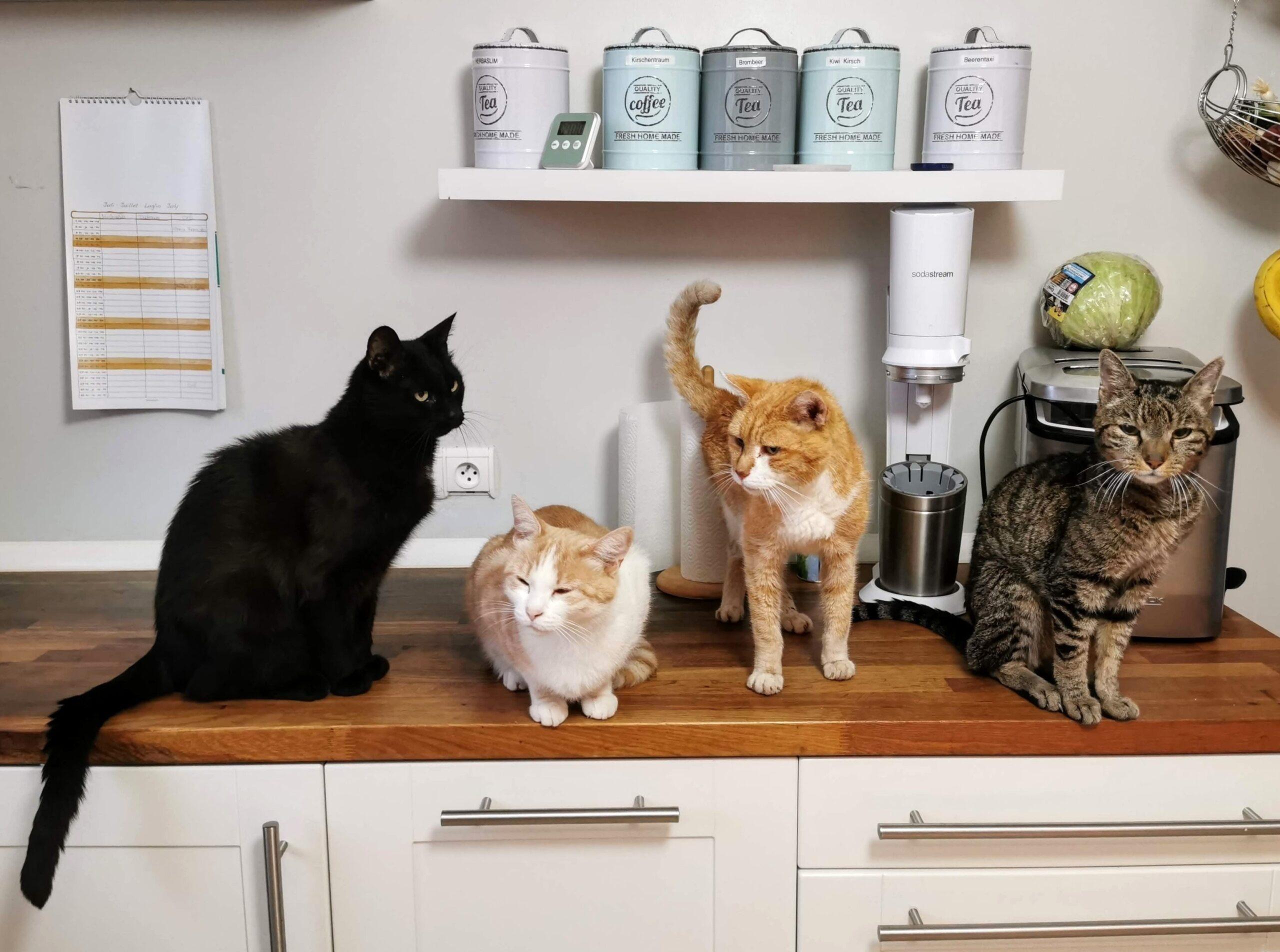 Quattro diversi gatti su un piano di lavoro in cucina