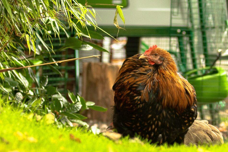 Quale gallina sta facendo l'uovo gallina marrone