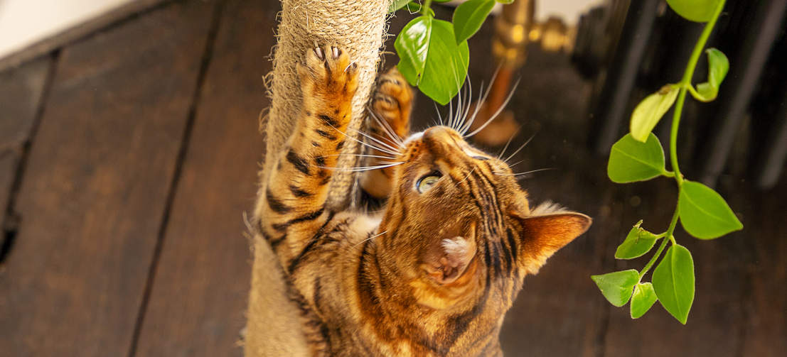 Un gatto Bengal che guarda verso l'alto mentre utilizza un graffiatoio dell'albero Freestyle della Omlet
