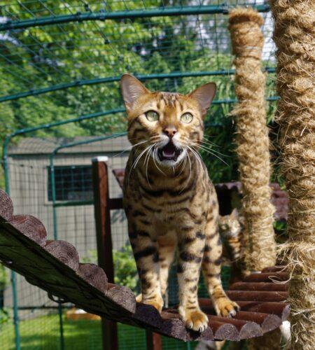 Un gatto Bengala che utilizza una recinzione per gatti da esterno della Omlet